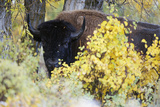 A Bison Looks around the Fall Colors