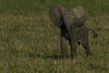 Portrait of an African Elephant Calf