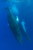 Two Humpback Whales Competitively Dive in the Pacific