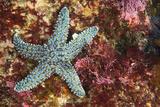 A Starfish on Cortes Bank Seamount