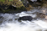 An American Black Bear Fords Anan Creek