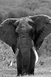 Portrait of an Old African Elephant Bull