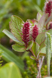 A Close Up of Arctic Willow Blossoms
