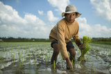 A Farmer Plants Rice in Bali