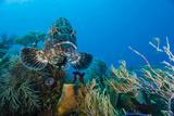 A Black Grouper Patrols a Coral Garden