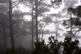 A Pine Tree Forest in Garafia