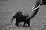 An African Elephant Urging Her Calf on with Her Trunk