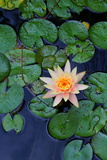 A Cultivated Water Lily in a Small Pond