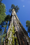 View Looking Up a Giant Sequoia Tree