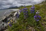 Arctic Lupines Bloom Above Katmai's Rocky Coastline