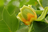 Close Up of a Flower and Leaves of a Tulip Poplar Tree