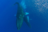 Two Humpback Whales Dance in the Pacific