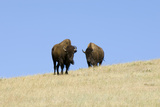 Two American Bison  Bison Bison  on the Top of an Hill