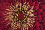 A Zinnia Flower