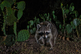 A Raccoon Strolls Among Prickly Pear Cacti at Night