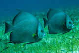 Gray Angel Fish in a Sea Grass Bed Off Lighthouse Reef