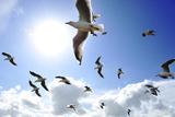A Flock of Gulls in Flight