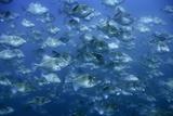 A School of Triggerfish