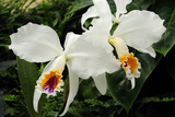 Close Up of Two Cattleya Orchids