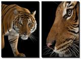 An Endangered Malayan Tiger (Panthera Tigris Jacksoni)