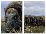 Close View of a Bull Musk-Ox and Four Musk Oxen