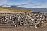 Adult Gentoo Penguins (Pygoscelis Papua) Molting Feathers at Saunders Island