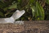 Leaf-Tailed Gecko (Uroplatus Fimbriatus)  Madagascar  Africa