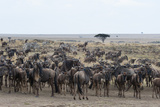 Wildebeest (Connochaetes Taurinus) Approaching the Mara River