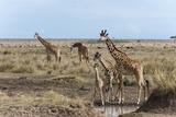 Masai Giraffe (Giraffa Camelopardalis)  Masai Mara  Kenya  East Africa  Africa