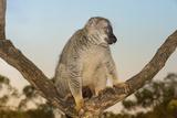 Red-Fronted Brown Lemur (Eulemur Rufus)  Andasibe-Mantadia National Park  Madagascar  Africa