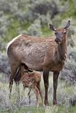 Elk (Cervus Canadensis) Calf Nursing