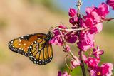 Queen Butterfly (Danaus Gilippus) on Queen's Wreath (Antigonon Leptopus)