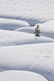Lone Evergreen Tree in the Snow with a Meandering Stream