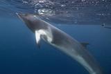 Adult Dwarf Minke Whale (Balaenoptera Acutorostrata) Underwater Near Ribbon 10 Reef