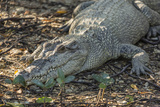 Wild Saltwater Crocodile (Crocodylus Porosus) on the Banks of the Hunter River