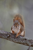 American Red Squirrel (Red Squirrel) (Spruce Squirrel) (Tamiasciurus Hudsonicus)