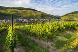 Vineyard Above Zell  Moselle Valley  Rhineland-Palatinate  Germany  Europe