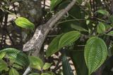Elephant-Eared Chameleon (Short-Horned Chameleon) (Calumma Brevicornis) Female  Madagascar  Africa