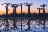 Baobab Trees (Adansonia Grandidieri) Reflecting in the Water at Sunset