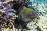 Yellowmargin Moray Eel (Gymnothorax Flavimarginatus)