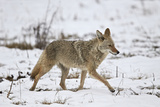 Coyote (Canis Latrans) on the Snow in the Spring