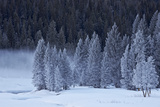 Frost-Covered Evergreen Trees