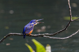 An Adult Azure Kingfisher (Alcedo Azurea) Swallowing a Fish on the Daintree River