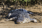 An Adult Wild Saltwater Crocodile (Crocodylus Porosus)