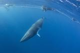 Adult Dwarf Minke Whale (Balaenoptera Acutorostrata) with Snorkelers Near Ribbon 10 Reef