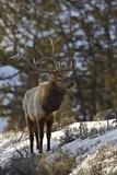 Bull Elk (Cervus Canadensis) in the Snow