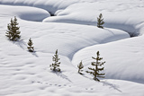 Evergreen Trees in the Snow with a Meandering Stream
