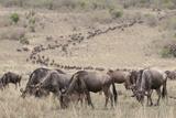 Wildebeest (Connochaetes Taurinus)  Masai Mara  Kenya  East Africa  Africa