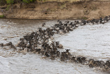 Wildebeest (Connochaetes Taurinus) Crossing the Mara River  Masai Mara  Kenya  East Africa  Africa