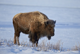 Bison (Bison Bison) in the Snow